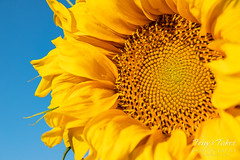 Golden sunflower and those beautiful, blue Colorado skies