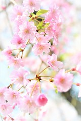 Cherry blossoms (Jeong Kab Cheol) Tags: 벚꽃 꽃 식물 자연 나무 cherry tree nature nikon plants pink さくら 桜 花 春 macromademoiselle