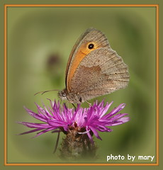 butterfly (maryimackins) Tags: butterfly kent wildlife mary mackins