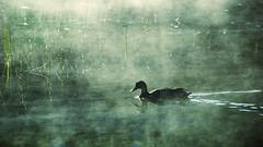 Un matin paisible (Sylvain Dorais) Tags: nature nikond7000 animal canard paysage parcnational parcnationaldumonttremblant monttremblant eau water landscape duck brouillard