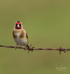 Goldfinch (Ian howells wildlife photography) Tags: ianhowells ianhowellswildlifephotography nature naturephotography nationalgeographic canon canonuk goldfinch wildlife wildlifephotography wales wildbird wildbirds