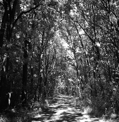 Brandywine path (Rosenthal Photography) Tags: ff120 ilfordlc2912920°c11min epsonv800 ostepfad mittelformat 20180714 6x6 rolleiflex35f schwarzweiss ilfordsfx rotfilter asa200 analog nordpfade landscape oste rollei rolleiflex 75mm sk schneiderkreuznach xenotar f35 35f ilford sfx lc29 129 red filter redfilter epson v800 trees track trail path pathway way brandywine bridge