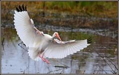 DSC_1281  White Ibis (felicitydawn) Tags: ibis whiteibis