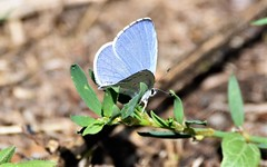 Blue in the sun. (pstone646) Tags: butterfly insect nature animal wildlife resting fauna blue sunshine plant kent bokeh