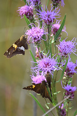 Three Views (pchgorman) Tags: silverspottedskipper epargyreusclarus taxonomy:binomial=epargyreusclarus epargyreus roughblazingstar liatrisaspera taxonomy:binomial=liatrisaspera liatris pyrginae asteraceae schluckebierprairie saukcounty wisconsin august prairies flowers insects butterflies