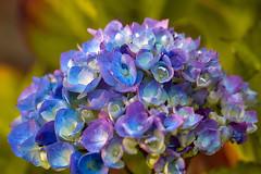 Hydrangea (San Francisco Gal) Tags: hydrangea hortensia flower fleur bloom blossom flora macro bokeh