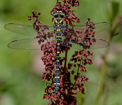 DSC9201  Golden-ringed Dragonfly.. (jefflack Wildlife&Nature) Tags: goldenringeddragonfly dragonflies dragonfly odonata insects insect wildlife wetlands wildlifephotography jefflackphotography riverside lakes ponds marshland meadows marshes glades gardens gorse copse countryside parcslip nature