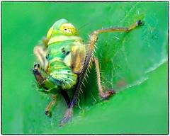 Nymph (RKop) Tags: nikkor200f4macro nikon raphaelkopanphotography californiawoodspark ohio wildlife