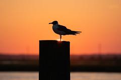 Walking on Sunshine (JeffMoreau) Tags: sunshine setting sun sunset chincoteague island virginia seagull sony a6300 200mm silhouette bokeh bokehlicious