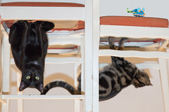 Spidercats (Xtian du Gard) Tags: xtiandugard chats cats spiderman marvell spidermanscats illusion