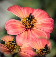Family get-together. (Omygodtom) Tags: clone bright elitebugs red happy bee natural nikon d7100 diamond augest decay lightroom46 flora simple existinglight usg macro dof digital