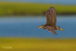 Black-crowned Night Heron - Nycticorax nycticorax | 2018 - 2