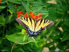 Tiger Swallowtail Butterfly. (~~Chuck's~~Photos~~) Tags: chucksphotos canonsx50 easterntigerswallowtail butterfly inourgarden aroundthefarm kentuckyphotos natureshots closeups outdoors butterflyweed ourworldinphotosgroup earthwindandfiregroup explorekentucky photosthruyourlensgroup solidarityagainstcancergroup