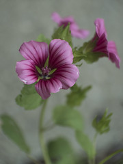Out of the Blur (MomoFotografi) Tags: fujian cctv bokeh flower purple pink