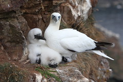 Gannets (blootoonloon1( No to Badger Cull)) Tags: gannets bird nature wildlife animals youngster chick scotland cliffs rspb trouphead aberdeenshire feathers colours