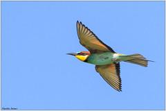 Bee-eater (fausto.deseri) Tags: beeeater meropsapiaster gruccione wildlife birds nature wildanimals tivolimanzolino nikond500 nikkor300mmf28afsii nikontc17eii faustodeseri