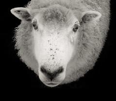 Meet Sweetie (JaniceNZ) Tags: sheep portrait wool monochrome face head