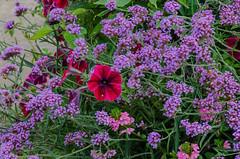 Flowers (frankmh) Tags: plant flower petunia sofiero sofierocastlegarden helsingborg skåne sweden
