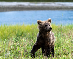 Curious Cub (TierraCosmos) Tags: brownbear bear yearling cub grass river beach alaska bearviewing cookinlet mountiliamna wildlife nature