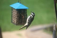 69/365/3721 (August 19, 2018) - Hairy Woodpeckers (Saline, Michigan) - August 2018 (cseeman) Tags: hairywoodpecker woodpecker suet feeder birds saline michigan backyard suetfeeder summer hairysaline082018 2018project365coreys yearelevenproject365coreys project365 p365cs082018 356project2018