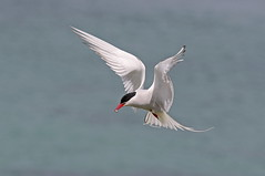 Arctic Tern (La_Wildlife) Tags: bird birds tern nature wildlife flying inflight canon ngc coast