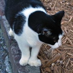 Key West (Florida) Trip 2017 0389Ri sq (edgarandron - Busy!) Tags: cat cats kitty kitties cute feline florida keys floridakeys keywest hemingwayhome
