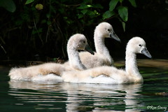 Mute Swan Cygnets, Stover Lake. (ronalddavey80) Tags: swans wildlife cygnets birds three canon tamron 70300mm eos70d