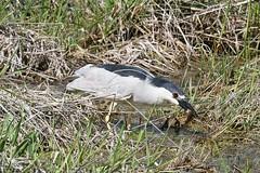 2017 Black-crowned Night Heron 8 (DrLensCap) Tags: blackcrowned night heron ledge road horicon marsh national wildlife refuge waupun wisconsin wi bird robert kramer