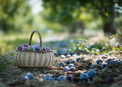 Plum harvest (V Photography and Art) Tags: plums trees harvest orchard basket fruit bokeh light perspective pointofview dof fujixt2 xf56mmf12rapd sunlight farm farmlife pyo