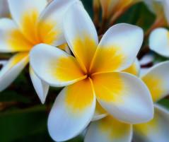 Plumeria. (S.K.1963) Tags: elements flower yellow white orange dof bokeh macro cyprus paphos olympus pen f plumeria 12 40mm 28pro