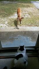 """Close Encounters Of The Third Kind"" (Lisa Zins) Tags: noah fawn video lisazins whitetailedfawn tn tennessee kitten fawnandkitten backdoor throughtheglass"