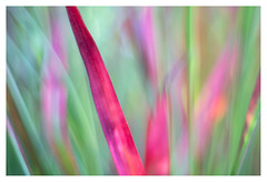 Grass (leo.roos) Tags: grass gras red rood green pink roze groen a7 helios77m45018 гелиос77m4 m42 vomz vologda russianlenses sovietglass darosa leoroos