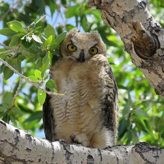 WHO, New? (Patricia Henschen) Tags: greathornedowl owl greathorned bird raptor young stanleyroad alamosa colorado backroads rural countryside roadside san