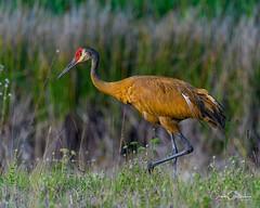 Finally! (craig goettsch - out shooting) Tags: sanibel2018 harnsmarsh sandhillcrane crane wildlife nature avian nikon d500
