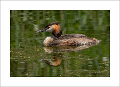 Great Creasted Grebe (Podiceps cristatus) (prendergasttony) Tags: podicepscristatus greatcrestedgrebe bird nature nikon tonyprendergast d7200 wildlife avian water reflection