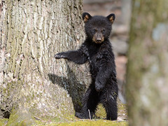 Black Bear Cubs (av8s) Tags: blackbear bear cub nature wildlife photography nikon d7100 sigma 120400mm pennsylvania pa
