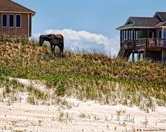 A Corolla Wild Horse Grazing on the Dunes, Outer Banks NC (PhotosToArtByMike) Tags: wildhorse horse corollawildhorses mustangs bankerhorse curritucknationalwildliferefuge equusferuscaballus outerbanks atlanticocean 4wheeldrive obx 4wd dunes secludedshoreline beach wildliferefuge sanddunes wildhorses shorebirds northcarolina nc outerbanksnorthcarolina carolinadunes curritucksound currituckcounty sea seashore shoreline