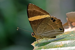 Abisara fylla - the Dark Judy (BugsAlive) Tags: butterfly mariposa papillon farfalla 蝴蝶 schmetterling бабочка conbướm ผีเสื้อ animal outdoor insects insect lepidoptera macro nature riodininae abisarafylla darkjudy nemeobiinae wildlife doisutheppuinp chiangmai ผีเสื้อในประเทศไทย liveinsects thailand thailandbutterflies nikon105mm bugsalive ผีเสื้อปีกกึ่งหุบดำ