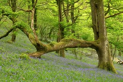 Strongarm (RoystonVasey) Tags: canon eos m 1855mm stm zoom wales dyffryn tywi valley rspb gwenffrwddinas reserve ystradffin oak woodland bluebell forest