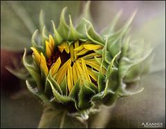Sunflower... (angelakanner) Tags: canon70d lensbabysweet50 composerpro closeup texturelayer sunflower garden longisland closeups