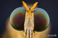 Fly (Karlgoro1) Tags: canon macro photo mpe 65mm f28 eye eyes zerene stacker insect focus stack closeup bug macrolife animal background sony alpha a6300 mirrorless digital camera ilce6300 fly