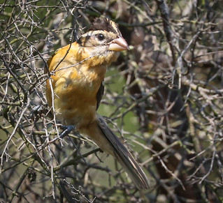 Black-headed Grosbeak Inceville Los Liones Canyon California-116