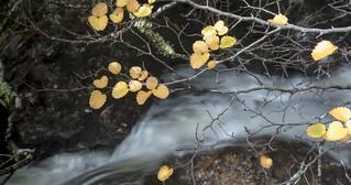 Fagus Leaves