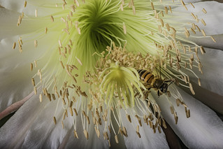 Honey Bee Harvesting From A Cactus Flower