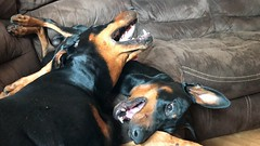 Dobies At Play (firehouse.ie) Tags: playing gabbana saxon black animals dogs female male pinscher pinschers dobermans doberman dobermanns dobermann dobies dobie dobeys dobey dobes dobe