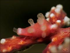 Masao's Egg Cowrie (Dentiovula masaoi) (Brian Mayes) Tags: 1994 southbank muara brunei shell alliedcowrie dentiovulamasaoi underwater scuba diving canon g16 canong16 brianmayes