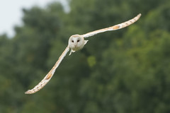 BARN OWL (_jypictures) Tags: animalphotography animals animal animalplanet canon canon7d canonphotography canon7dphotography wildlife wildlifephotography wiltshire naturephotography nature photography pictures barnowl owl birdwatching birdingphotography birding bird birds birdphotography birders birdofprey