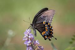 140A0341 (Ricky Floyd) Tags: butterfly canon