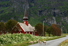 Looking for the good shepherd (DoctorMP) Tags: norway lofoten nordland summer cloudy outdoors hiking flakstad flakstadoya mountains church sheep