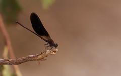Caloptéryx hémorroïdal ♂ - IMBF6012 (6franc6) Tags: occitanie languedoc gard 30 petitecamargue juillet 2018 6franc6 vélo kalkoff vae